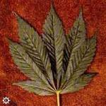 cannabis_indica_afghani